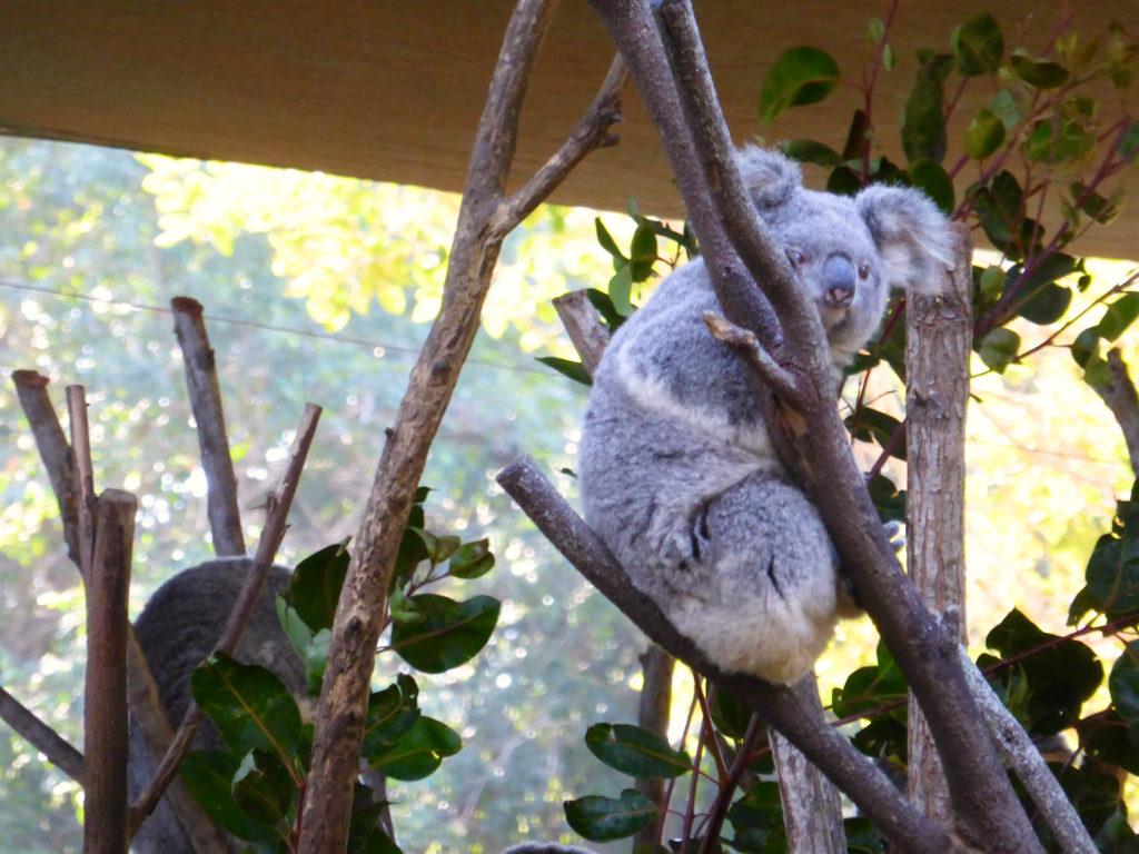 コアラ目見開き